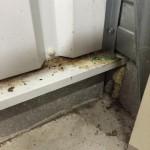bruine ratten bestrijden